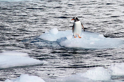 Danco Island, Antarctica Penguins  by Lilach Weiss