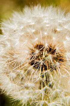 Barry Jones - Dandelion - 3