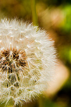 Barry Jones - Dandelion - 4