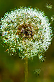 Barry Jones - Dandelion - 5