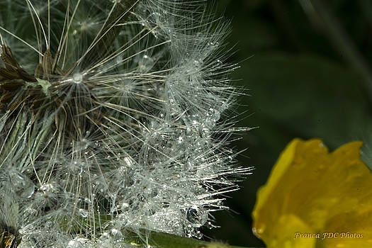 Dandelion and Buttercup  by Francoise Dugourd-Caput
