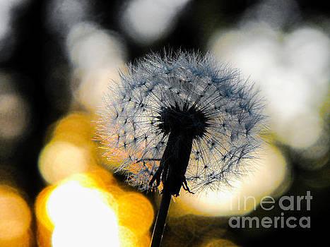 Dandelion by Diane McDougall