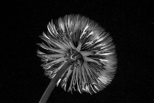 Dandelion - Different Perspective in B W by Greg Thiemeyer