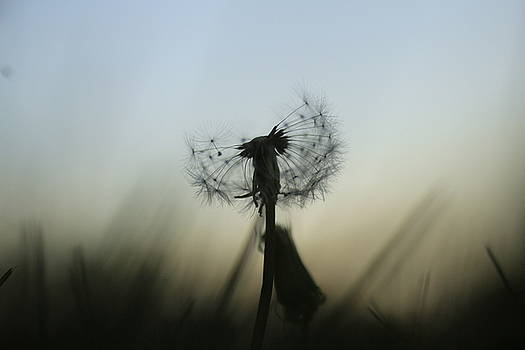 Dandelion by Doug Hoover