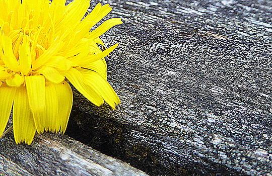 Dandelion Flower by Lori Seaman