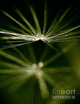 Dandelion flower with water drops  by Odon Czintos