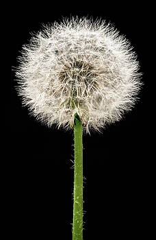 Dandelion Gone To Seed by Steve Gadomski