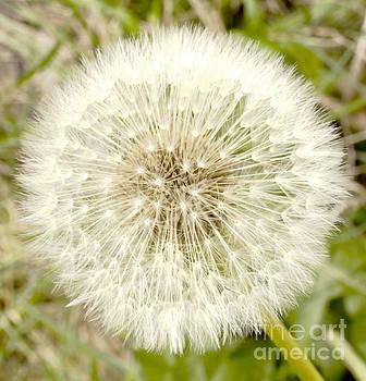 Dandelion I by Cassandra Buckley