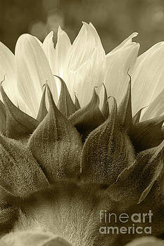 Dandelion in sepia by Micah May