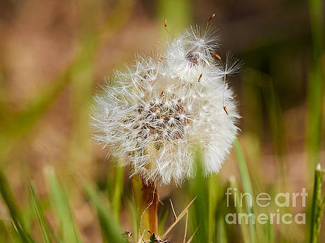 Nick  Biemans - Dandelion in the grass
