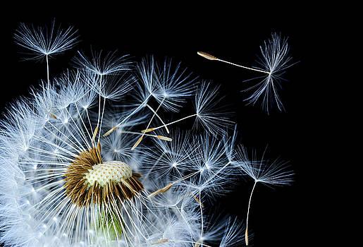 Dandelion on black background by Bess Hamiti