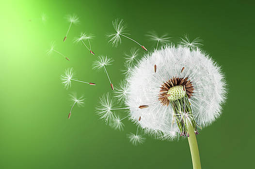 Dandelion seeds by Bess Hamiti