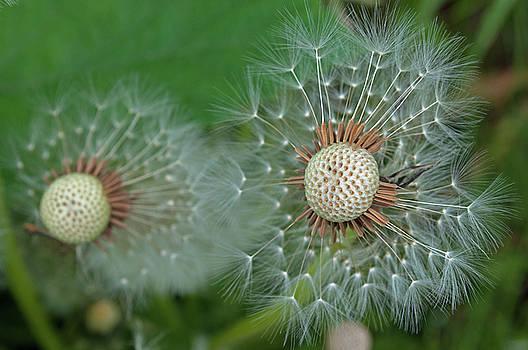 Dandelion Seeds by Cathy Mahnke