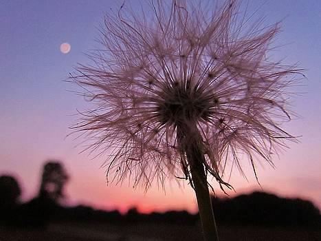 Dandelion Sunset by Ginger Wemett