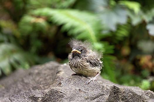 Dark-Eyed Junco Baby Chick by Jit Lim