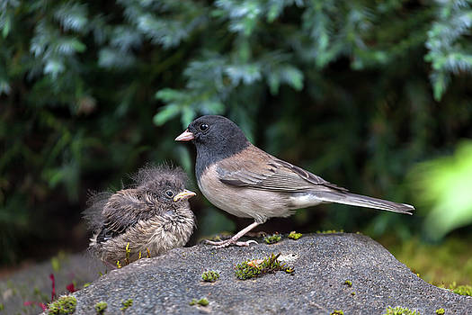 Dark-Eyed Junco Mother and Baby Chick by Jit Lim