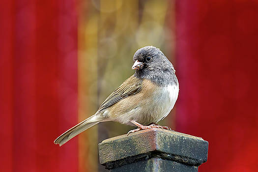 Dark-Eyed Junco Perched on a Pole by Jit Lim