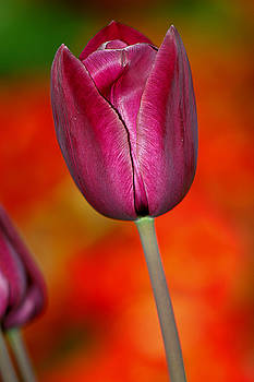 Dark pink tulip by Sivakolunthu Loganathan