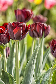Patricia Hofmeester - Dark red tulips