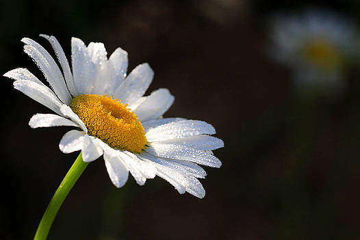Dasies by Tingy Wende