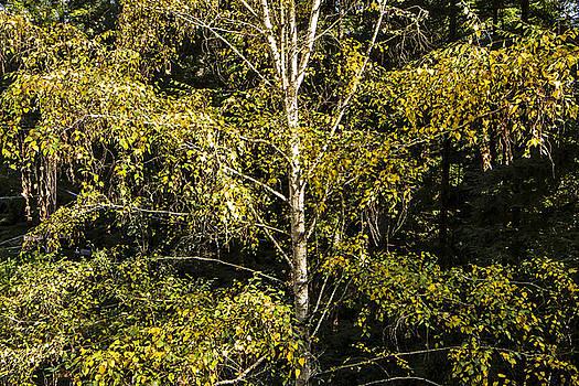 David's Birch by Larry Darnell