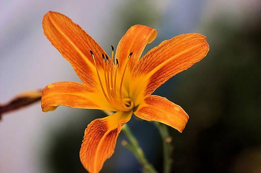 Day Lily by Scott Carlton