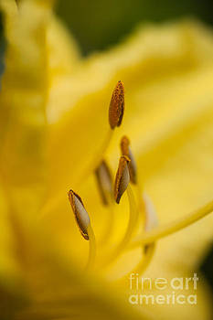 Day Lily by Sue OConnor