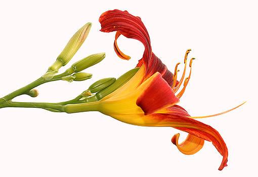 Daylily  by Steve Augustin