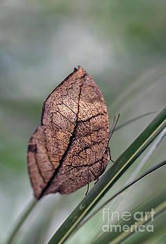 Dead Leaf Butterfly Macro by Brandon Alms