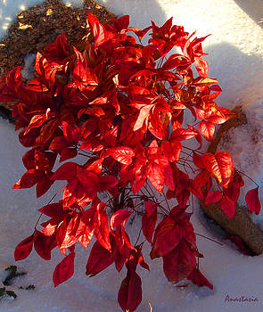December Burning Bush by Anastasia Savage Ealy