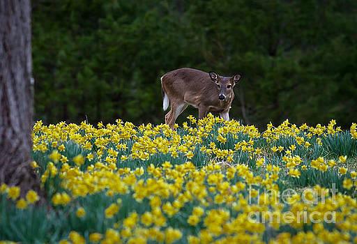 Deer and Daffodils by Douglas Stucky