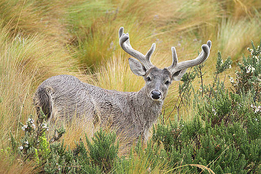 Deer and native vegetation Ecuador by Juan Carlos Vindas