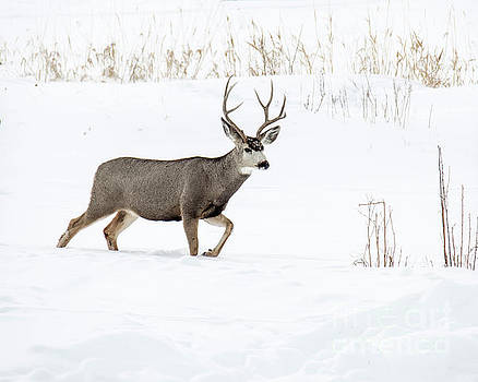 Deer in the snow by Rebecca Margraf