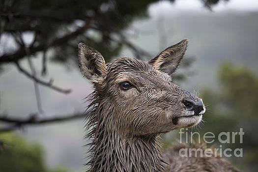 Deer in the Wet by Douglas Barnard