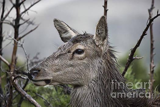 Deer in the Wet V4 by Douglas Barnard