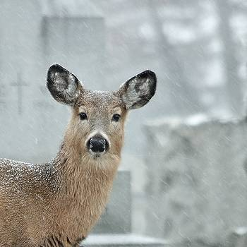 Deer In The Winter Graveyard by Gothicrow Images