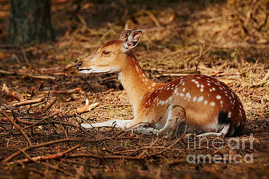Nick  Biemans - Deer lying in a sunny spot in a dark forest