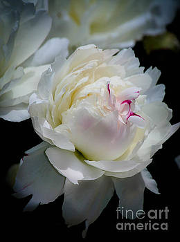 Delicate Beauty by Veronica Batterson