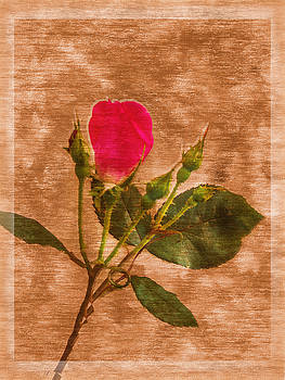 Barry Jones - Delicate Bloom - Textured Rose