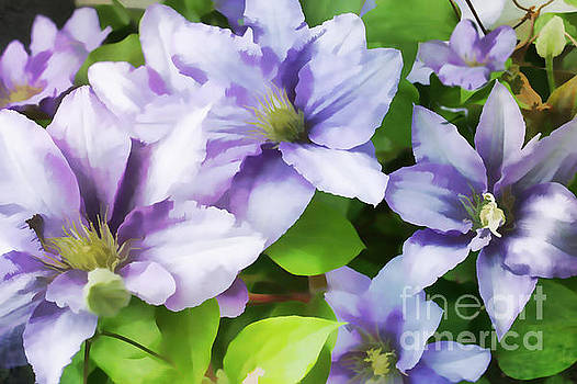 Delicate Climbing Clematis  by Judy Palkimas