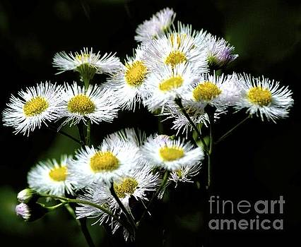 Delicate Daisies by Tracy Rice - Photographer