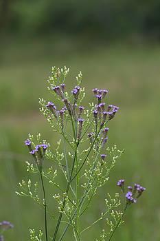 Delicate Lavender Verbena Wilflowers by Kathy Clark