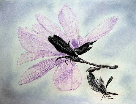 Delicate Magnolia by Angela Davies