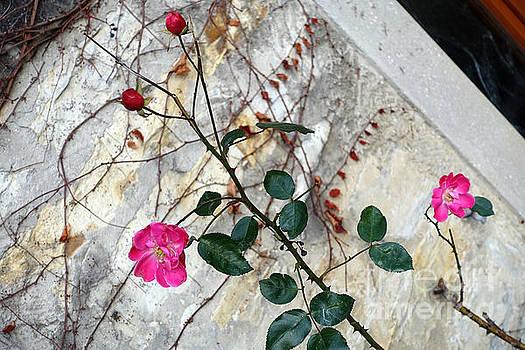 Delicate rose in December by Eva-Maria Di Bella