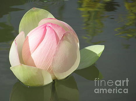 Delicate Water Lily by Anita Adams