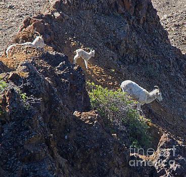 Denali Goats by Robert Pilkington