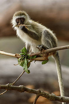 Dental Floss Vervet Monkey by Janis Knight