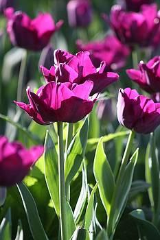 Descanso Tulips by Sarah Vandenbusch