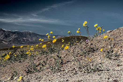 Desert Gold in Death Valley by Janis Knight