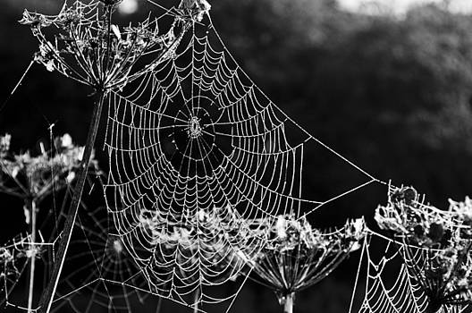 Dewy spider's web by David Isaacson
